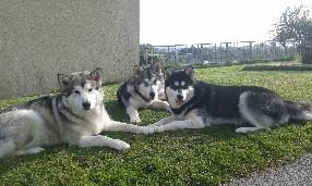 Pension canine des Loups d'Amanthis Dolo