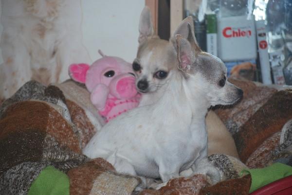 Be et Lili, les adorables petites chihuahuas